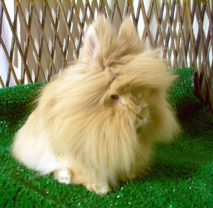 Lionhead Rabbits By Dee Millen Welcome